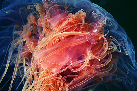 incredible-photographs-of-jellyfish-by-alexander-semenov-3