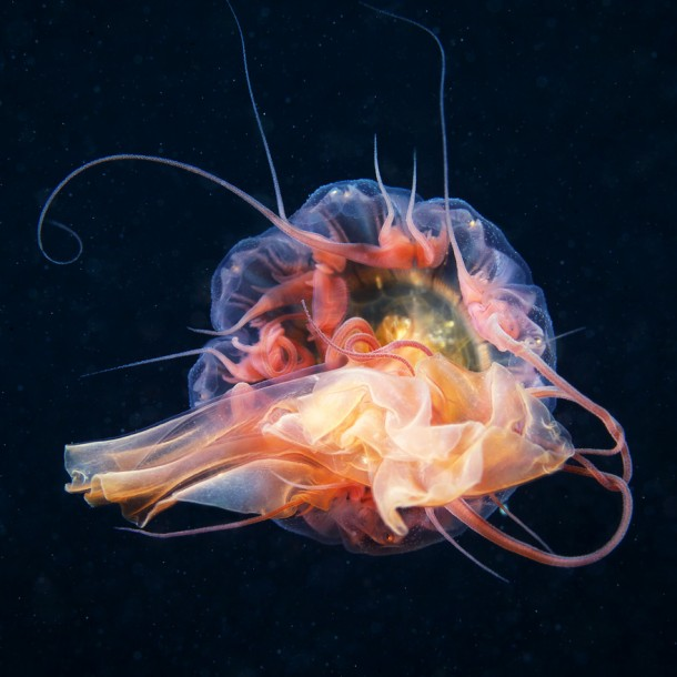 jellyfish-photos-alexander-semenov-underwater-experiments-9-610x610