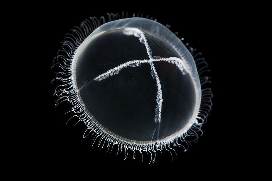 Showcasing-Outstanding-Jellyfish-Photography-by-Alexander-Semenov_15-@-GenCept